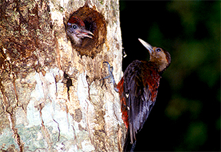 Okinawa Woodpecker01