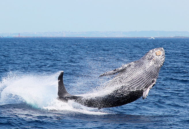 Whale Watching Season in Okinawa