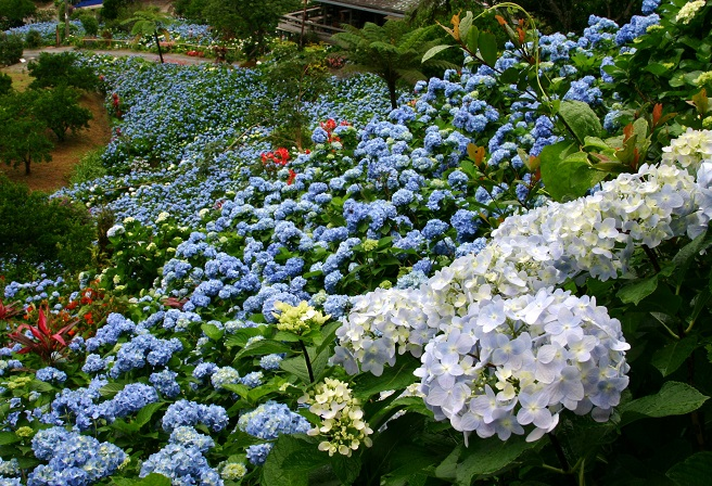 The Garden Had Originally Been A Tangerine Field Before Its Owner, Mrs. Uto  Yohena Started Planting Hydrangeas And They Grew ...