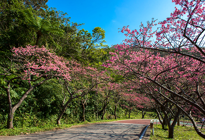 "Okinawa's Special Feature in Spring that turns the Mountains into Pink, the ""Cherry Blossom Festival"""