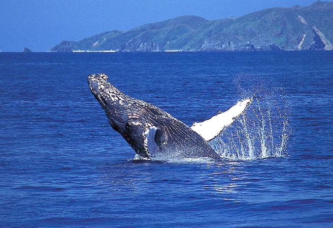 賞鯨 沖繩