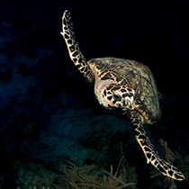 Sea Turtle swimming