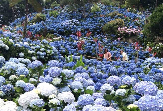 Yohena Hydrangea Garden 2016 Events Okinawa Travel Info