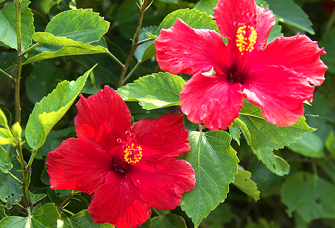 Why the beautiful hibiscus compliments Okinawa.