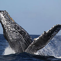 mermaid-whale-watching-sub2