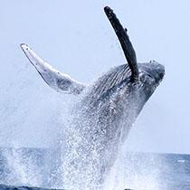 mermaid-whale-watching-sub3