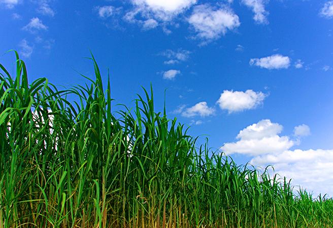 Sugar Cane: Okinawa's Famous Produce