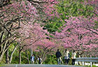 39th-Motobu-Yaedake-Sakura-Festival-sum