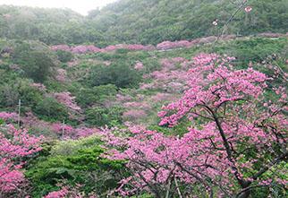 sakura-yaedake-pic1