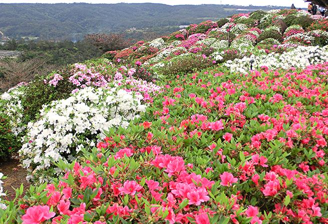 沖縄の春を体感できる「東村つつじ祭り」