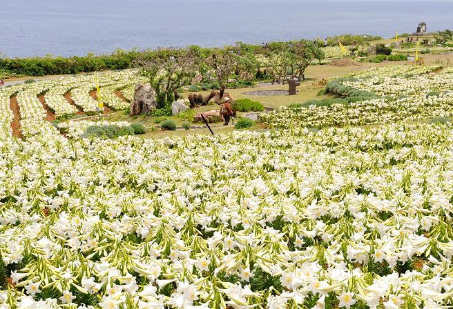 Enjoy Japan's Earliest Lily Festival on Ie Island!