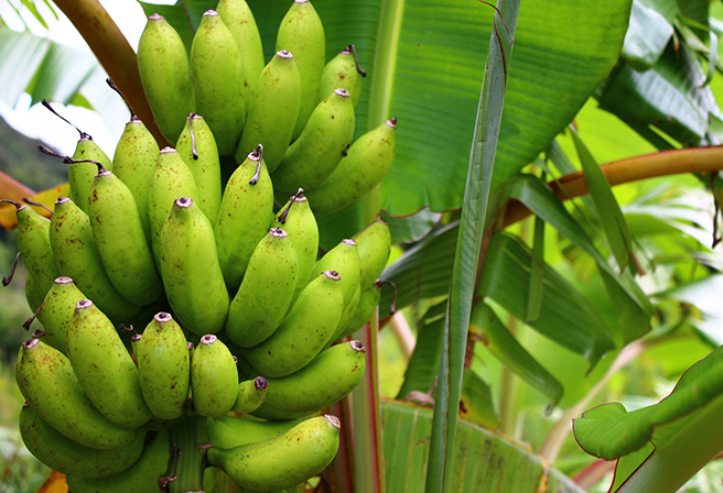 The Shima Banana, a Memorable Holiday Food!