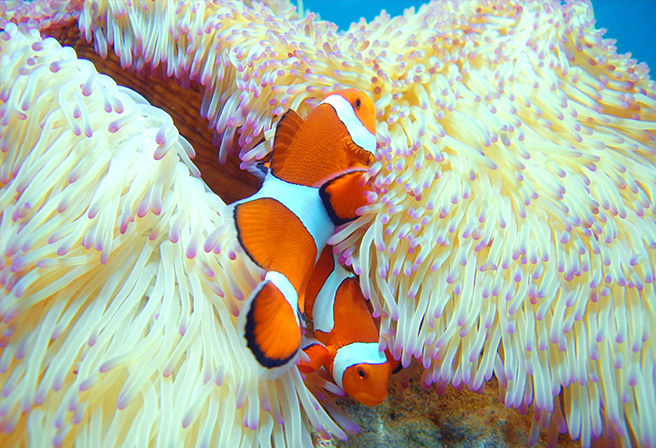 The Cute and Mysterious Clown Fish