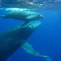 whale-sub